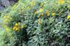 Fleur fête des mères Tithonia diversifolia