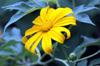Fleur Tithonia diversifolia