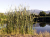 Typha domingensis Pers