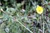 Abutilon indicum ou Sida indica