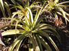 Aloe macra Haw
