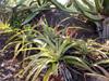 Mazambron marron. Aloe macra Haw.