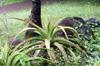 Mazambron marron Aloe macra.