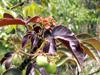 Médecinier sauvage, médecinier rouge, Pourghère rugueuse. Jatropha gossypiifolia