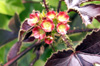 Fleurs : Médecinier sauvage, médecinier rouge, Pourghère rugueuse. Jatropha gossypiifolia
