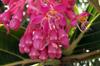 Fleur Medinilla magnifica