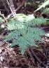 Megalastrum canacae (Holttum) Holttum.