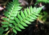 Megalastrum canacae (Holttum) Holttum