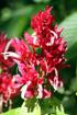 Fleur : Megaskepasma erythrochlamys
