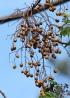 Melia azedarach L. Fruits.