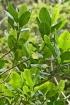 Melicope borbonica (Bory) T.G.Hartley, Catafaye.