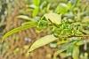 Melicope borbonica (Bory) T.G.Hartley Catafaye