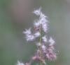 Melinis repens (Willd.) Zizka