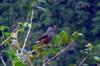 Merle pays oiseau endémique de La Réunion
