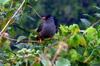 Bulbul de La Réunion Hypsipetes borbonicus