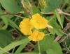 Merremia umbellata (L.) Hallier f
