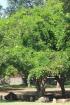 Millettia pinnata (L.) Panigrahi.