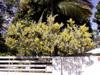 Acacia dealbata Link