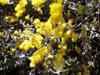 Mimosa ou mimosa d'hiver - Acacia dealbata