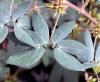 Mimosa albida Humb. et Bonpl. ex Willd