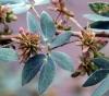 Mimosa albida Humb. et Bonpl. ex Willd Mimosa albida