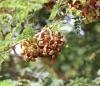 Dichrostachys cinerea (L.) Wight et Arn Mimosa clochette
