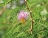 Mimosa clochette Dichrostachys cinerea