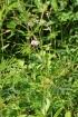 Mimosa diplotricha C. Wright ex Sauvalle.