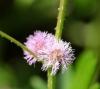 Fleur. Mimosa diplotricha.