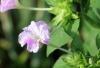 Mirabilis jalapa L. Fleur