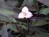 Tradescantia pallida  (Rose) D.R. Hunt