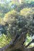Monimia rotundifolia Thouars.