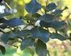Monimia rotundifolia Thouars. Feuilles.