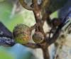 Monimia rotundifolia Thouars