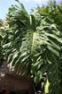 Monstera délicieux, Ananas du pauvre. Fruit de La Réunion