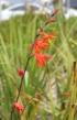 Fleurs : Crocosmia x crocosmiiflora.