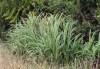 Crocosmia x crocosmiiflora. Montbrétia ou montbretia.