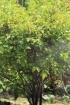 Morus alba L, Mûrier blanc