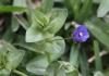 Anagallis arvensis. Flore de La Réunion.