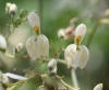 Moringa oleifera Lam. Fleurs.