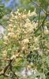 Moringa oleifera Lam