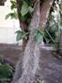 Barbe espagnole Tillandsia usneoides