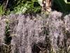 Barbe espagnole Tillandsia usneoides Flore La Réunion