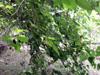 Morus nigra L, Mûrier noir