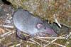 Musaraigne ou rat musqué