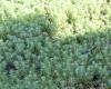 Myriophyllum aquaticum (Vell.) Verdc