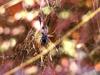araignée Néphila
