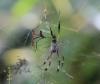 Araignée Néphila bibe