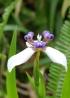 Neomarica gracilis (Herb.) Sprague.