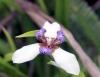 Neomarica gracilis (Herb.) Sprague